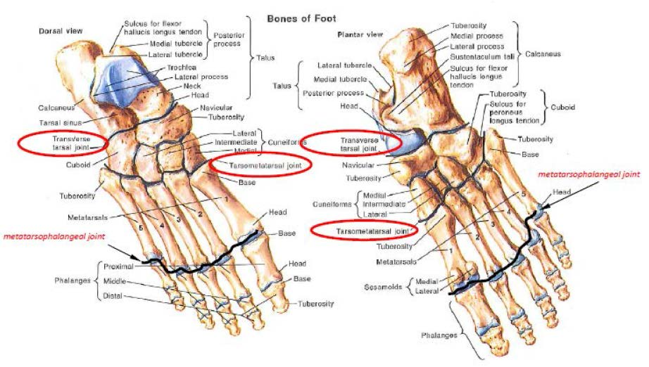 MTP-Foot-Joint